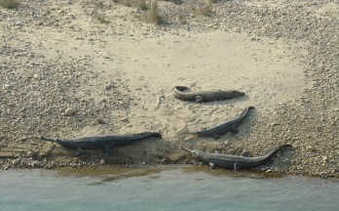 Gharials in Indian river bed