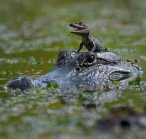 Baby alligator taking a ride