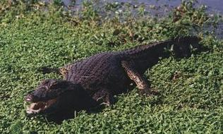 Yacare caiman in river margin