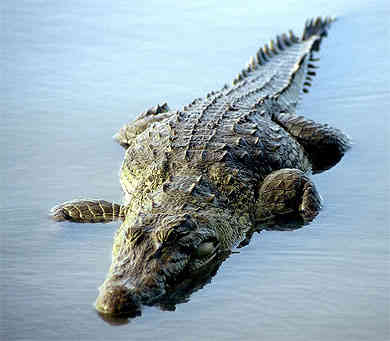 Crocodile in river